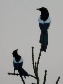 фото две птицы сороки на ветке