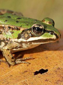 фото зеленой лягушки