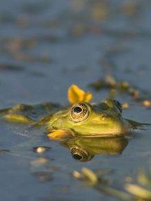фото лягушки с кувшинкой