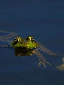 фото лягушки в воде