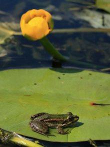 фото лягушки на листе кувшинки